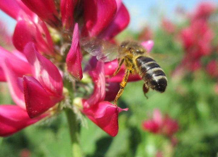 L'Ue in soccorso delle api: all'esame di Strasburgo la riduzione dei pesticidi