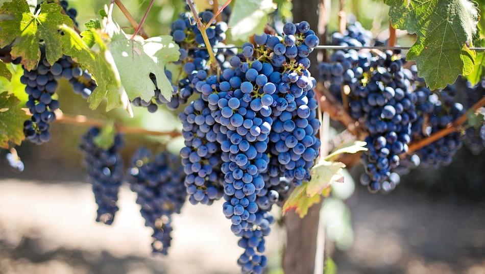 Ocm vino, ecco le aziende viticole siciliane che riceveranno il finanziamento
