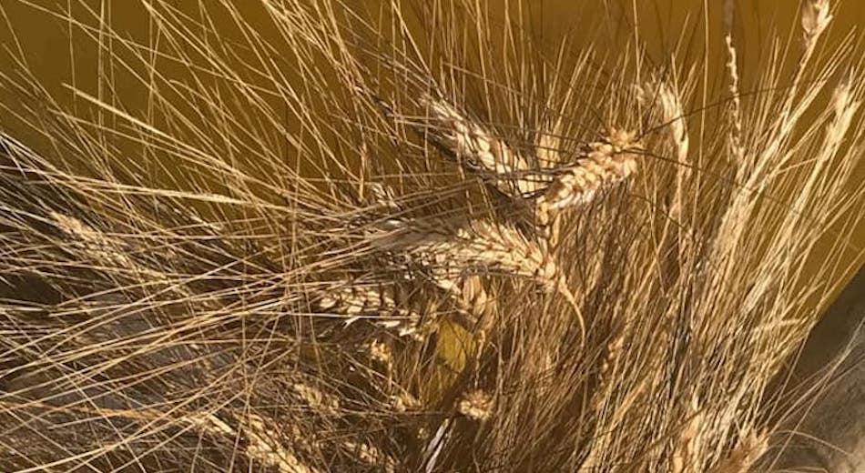 Il Gal Madonie punta allo sviluppo della filiera dei grani duri antichi