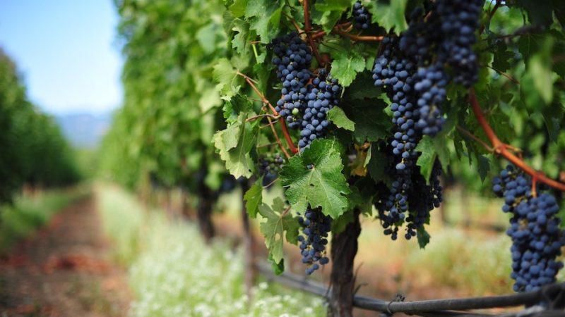 master viticoltura