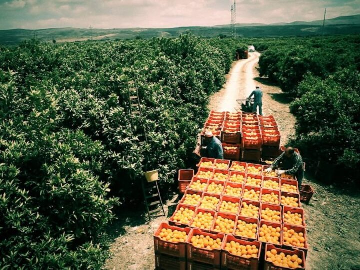 braccianti raccolgono arance