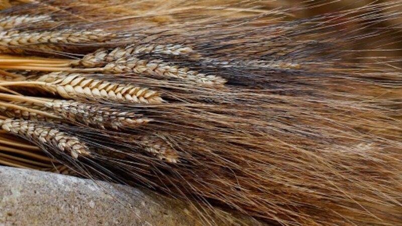 grano duro 2