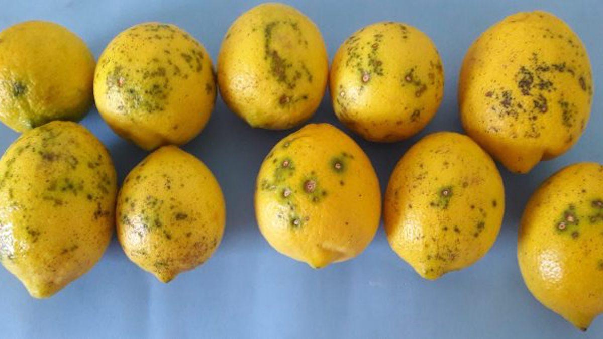 Citrus Black Spot, limoni argentini infetti respinti al porto di Catania