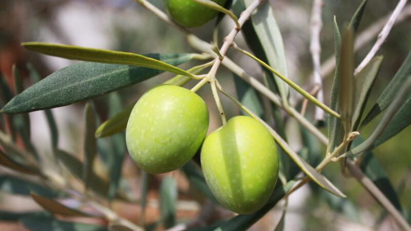 dimetoato su olivo