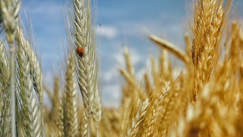 spighe grano duro