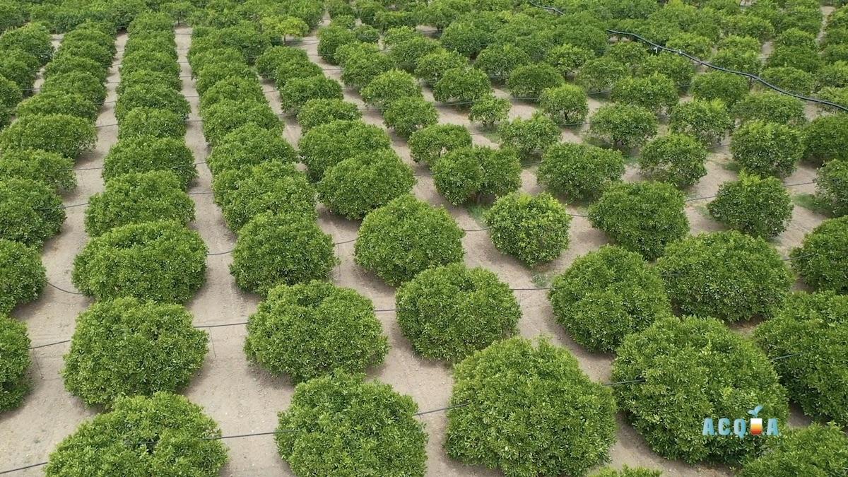 Acqua in agrumicoltura: qualità, sprechi, soluzioni irrigue e tecnologie