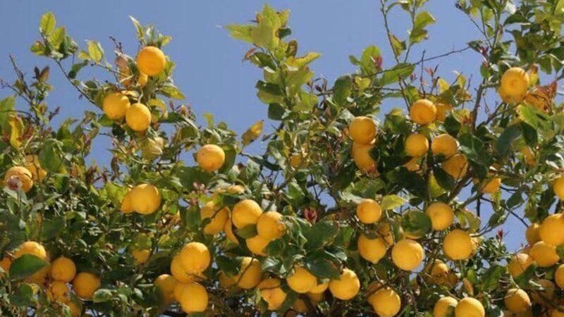 limone Etna Igp
