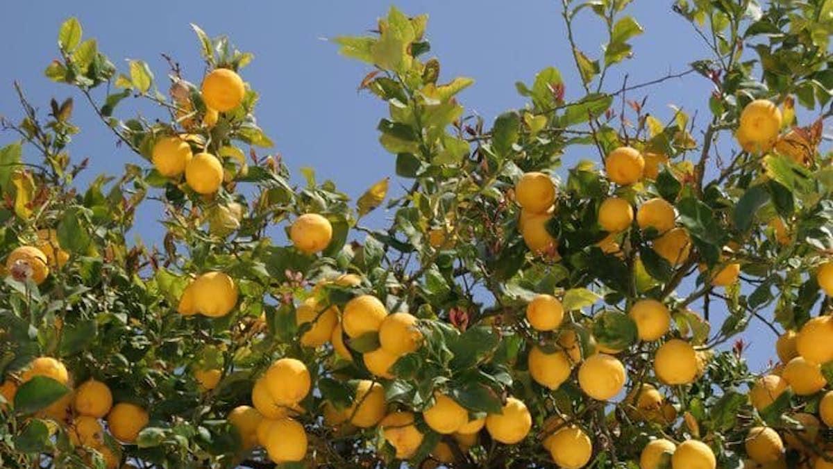 Bruxelles dà il via libera al riconoscimento per il Limone dell'Etna Igp