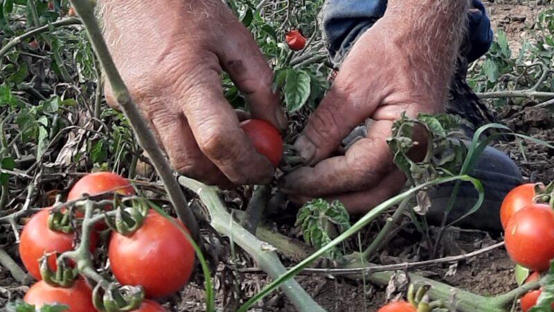pomodoro siccagno raccolta