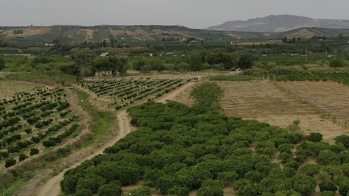 Agrumi, dal Mipaaf otto milioni di euro per il ricambio varietale