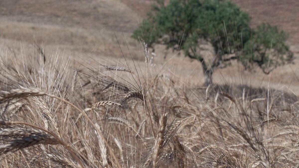 Biodurum, dal Crea processi innovativi per il grano duro bio