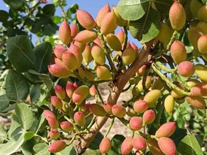 pistacchio di Raffadali