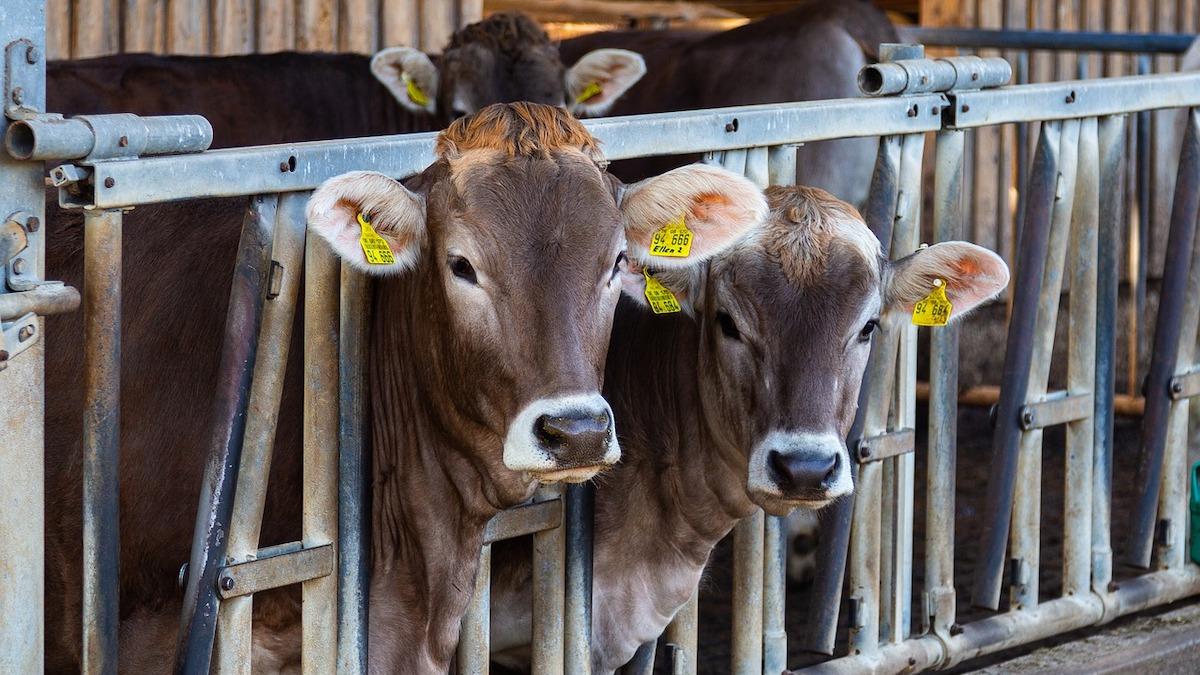 Sos degli allevatori, prezzi dei mangimi in salita e scendono quelli del latte