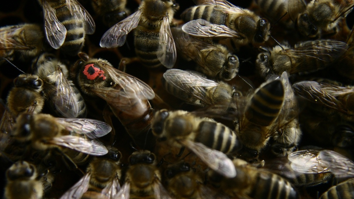Incontri on-line per apicoltori su genetica delle api e liquori dal miele