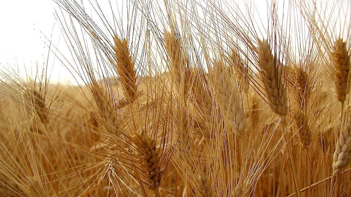 Genetica, ipotesi Crea: geni del frumento tenero per migliorare il duro