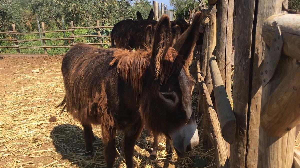 Protocollo d'intesa Regione-Parco, a Pantelleria torna l'asino pantesco