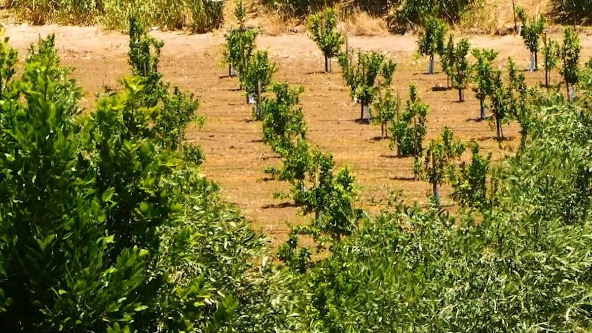 Tristeza e malsecco, al via i contributi per gli agrumeti danneggiati