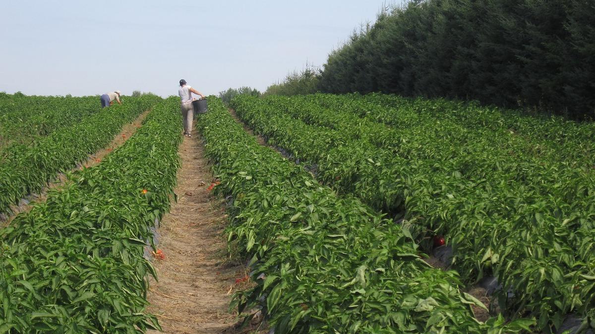 Covid, l'ente bilaterale delibera bonus per i dipendenti di coop agricole