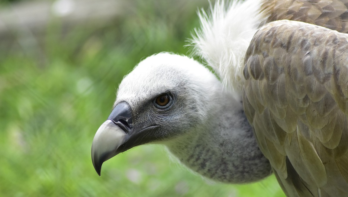 Madonie, al via un progetto per la reintroduzione dell'avvoltoio grifone