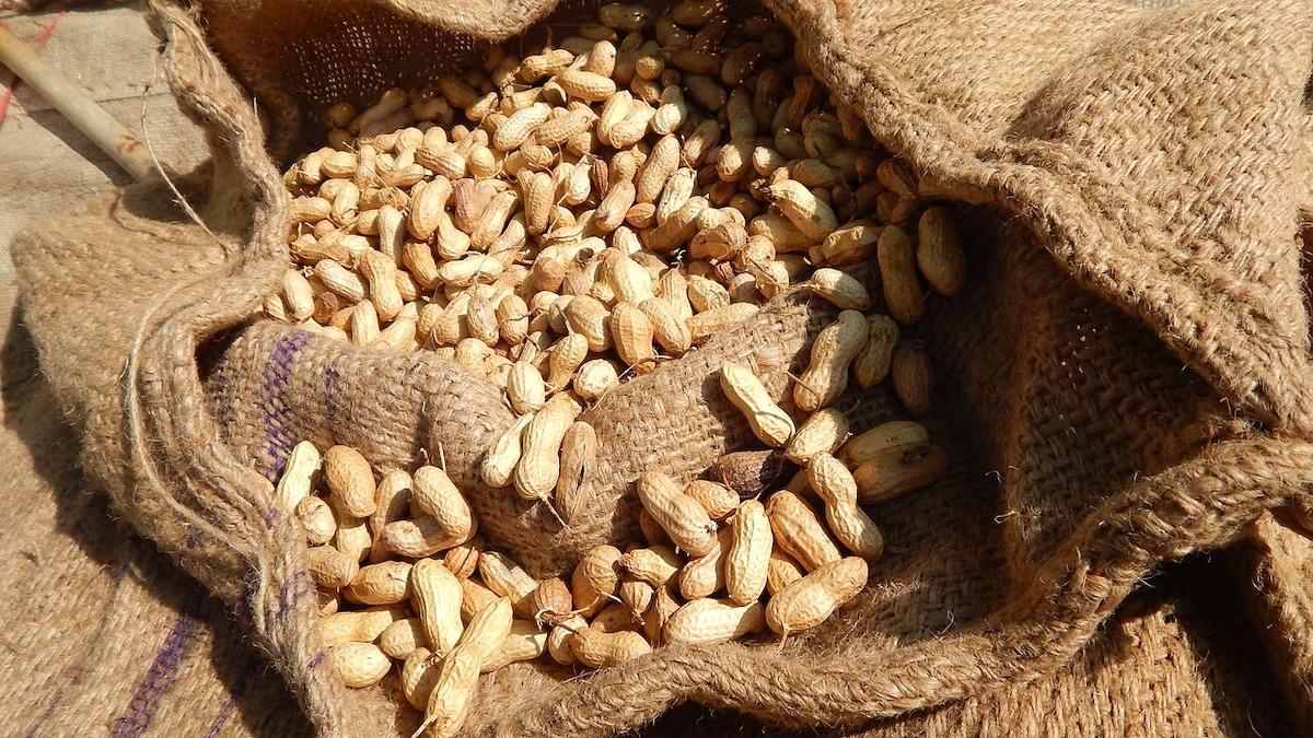 In Sicilia torna la coltura delle arachidi, campi sperimentali a Baucina (Pa)