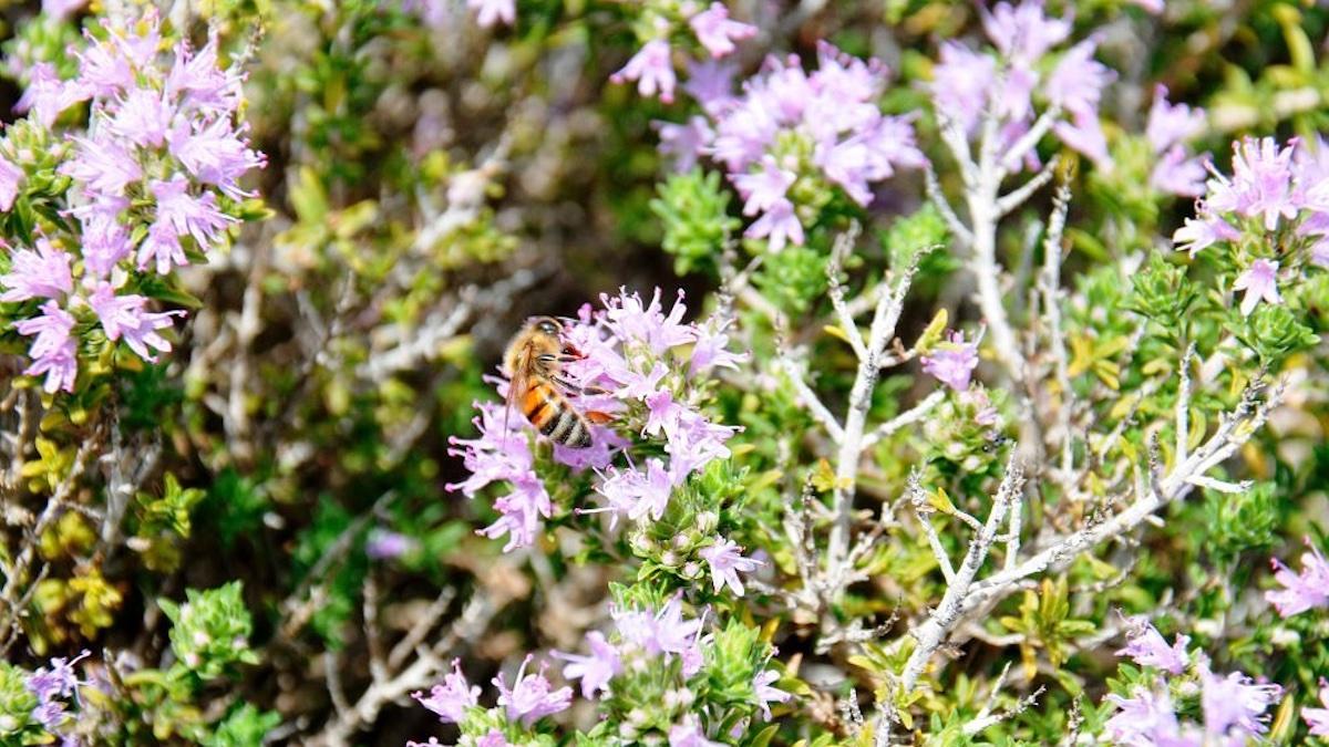 Il miele di timo ibleo diventa Presidio Slow Food, ma l'annata è da incubo