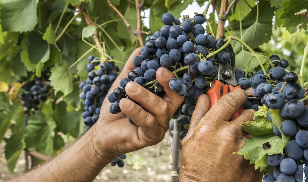 Vendemmia 2021, la Sicilia vede rosa: rese in aumento e buona qualità