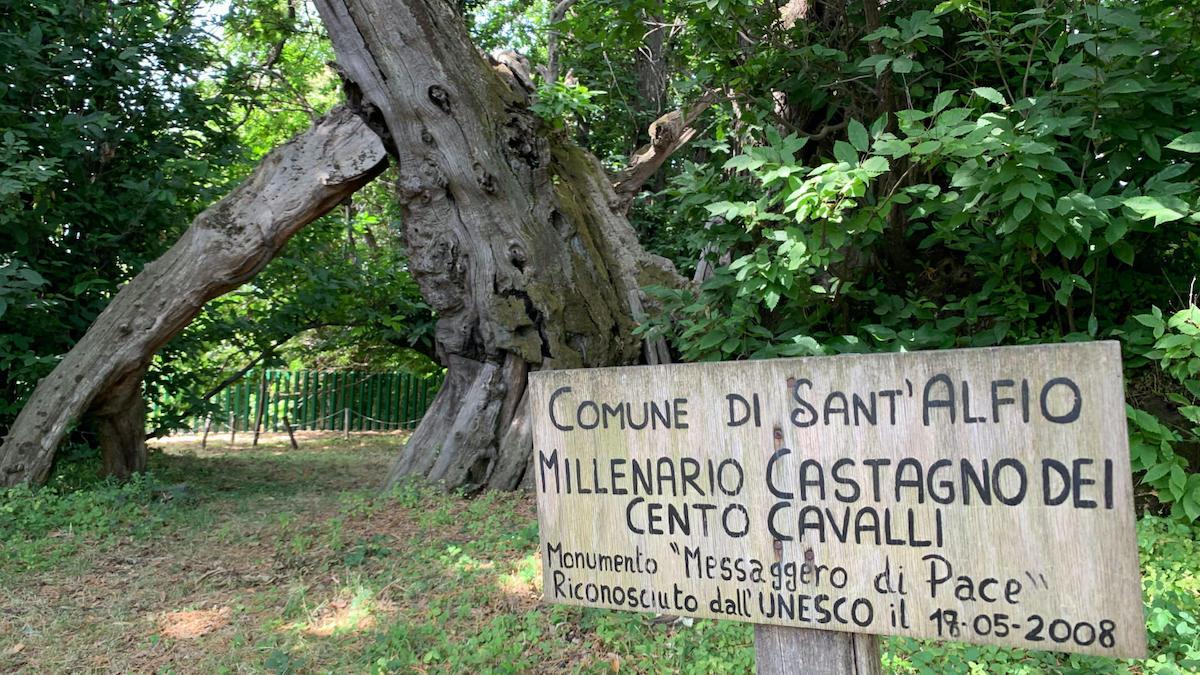 """Il """"Castagno dei 100 cavalli"""" di Sant'Alfio finalista come albero dell'anno"""